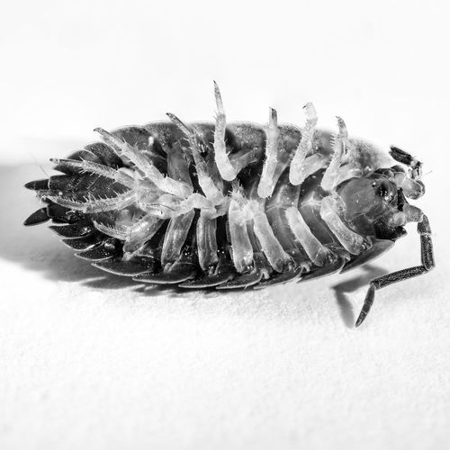 Armour Bnw Bnw_collection Close Up Close-up Creature Creatures Dead Dead Animal Dead Creatures Detail Legs Macro Macro Beauty Macro Photography Macro_collection Nature White Background Wildlife Wildlife & Nature Woodlouse