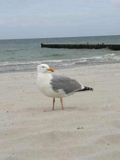 Bird Sea Water Beach Sand Seagull Animal Themes Horizon Over Water