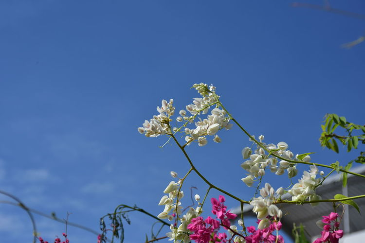 Low angle view of white flowering plant against blue sky