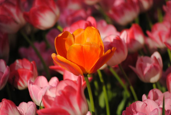 Tulip Growth The One Light And Shadow Colours Of Nature Flowers Fragility Freshness