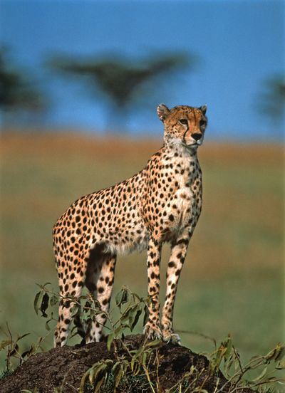 Cheetah on rock in forest