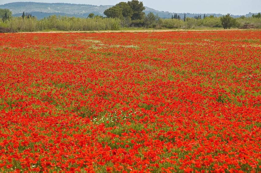 Beauty In Nature Blooming Field Flower Growth Nature Plant Red