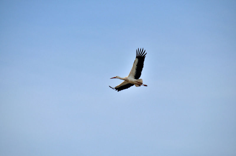 Low angle view of white stork flying against clear sky