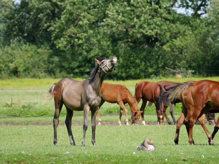 Foals Horses Flehmen Response Grassy Grazing Herbivorous Landscape Nature No People Outdoors Pasture Animals Animal Themes From My Point Of View Domestic Animals Taking Photos Non Urban Scene Herd Of Horses Home Is Where The Art Is Tranquil Scene Mammal