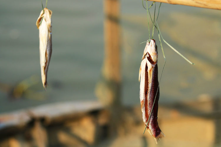 Close-up of fish hanging on wood