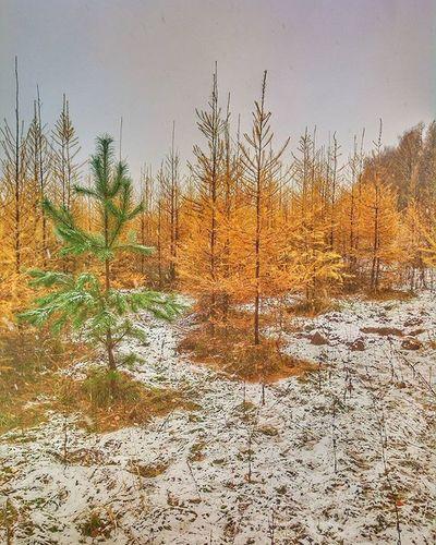 Угадай где эминем ёлки осень краски  эминем Yellow Forest Tree Nature Outdoor Autumn Snow Schnee Colour Green Eminem