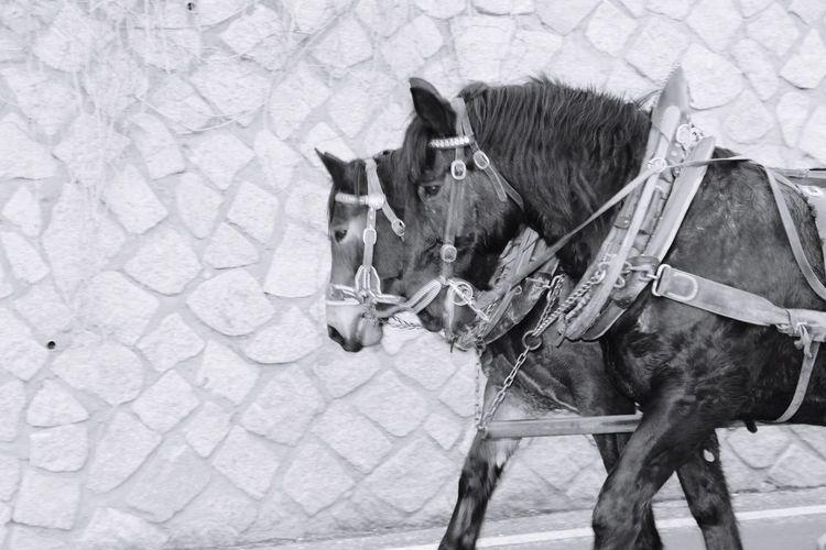 Alta Badia Animal Themes Horse Herbivorous Day Nature Photo Blackandwhite Sled Snow Self Horses Photography Christmas Tranquility Walking Around Landscape Potrait Winter