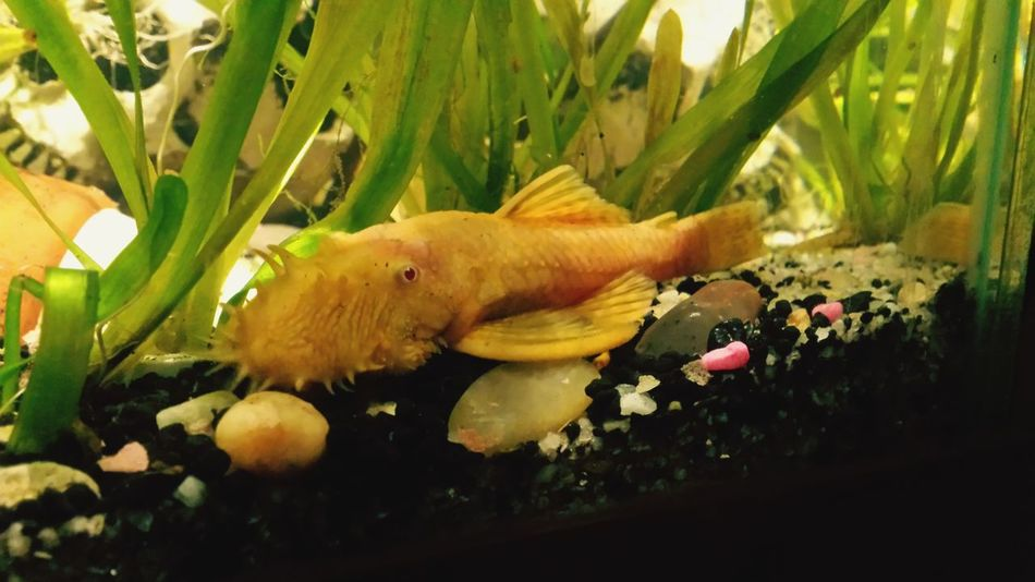 male albino bristlenose plecostamus Fish Tropical Aquarium Albino Bristlenose Bushynose Pleco Male Close-up No People One Animal Plant Water Animal Themes