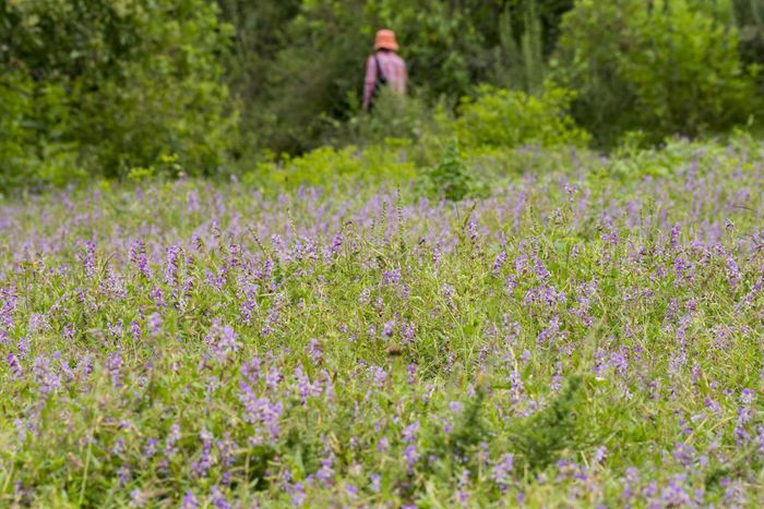 A woman walks in the middle of a field full of wildflowers. Teremendo Adult Beauty In Nature Casual Clothing Day Field Flower Flowering Plant Freshness Growth Land Landscape Nature One Person Outdoors Plant Purple Rural Scene Selective Focus Three Quarter Length