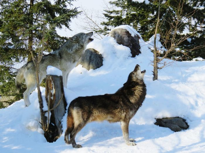 Cold Temperature Snow Winter Mammal Animal Themes No People Day Wolfs  旭山動物園 Asahiyama Zoo Asahikawa Japan Snow ❄ 日本 Hokkaido Close-up 北海道 Adapted To The City