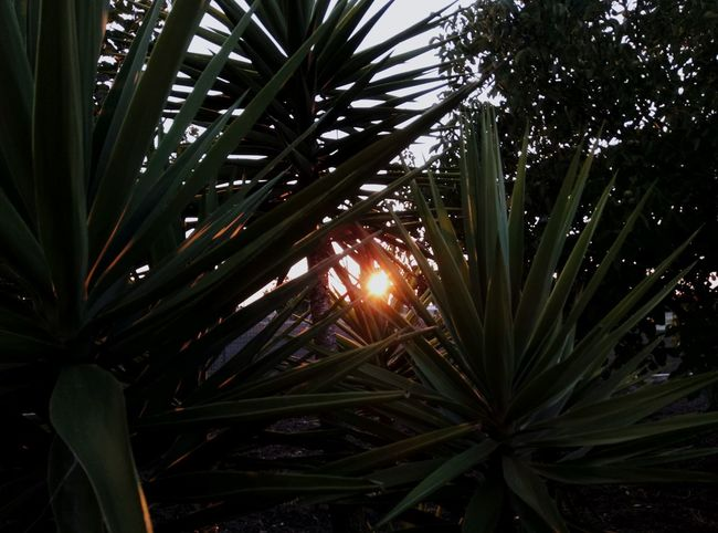 Yucca Yuccaplant Day Sky Freshness Plant Growth Nature Leaf Green Color Beauty In Nature Close-up Outdoors Italy Summer Puglia Sunset Trough The Trees Through The Leaves Sun Mix Yourself A Good Time Your Ticket To Europe The Week On EyeEm EyeEmNewHere Lost In The Landscape Perspectives On Nature Be. Ready.