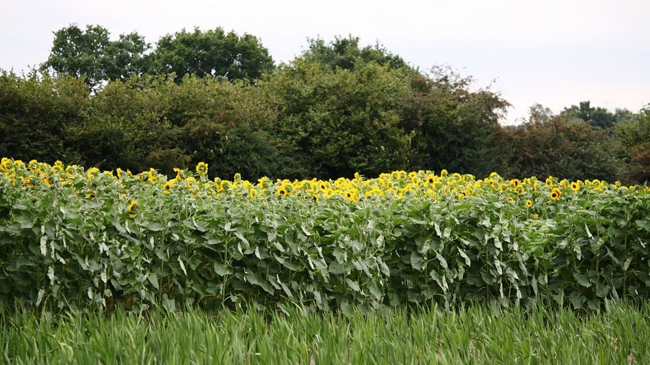 Hello World Hello Hamburg Outdoors Outdoor Photography Sunflowers Sunflowers Field Enjoying Life Nature Taking Photos Throughmyeyes Click Click 📷📷📷 Taken By Me Flowerporn Germany🇩🇪
