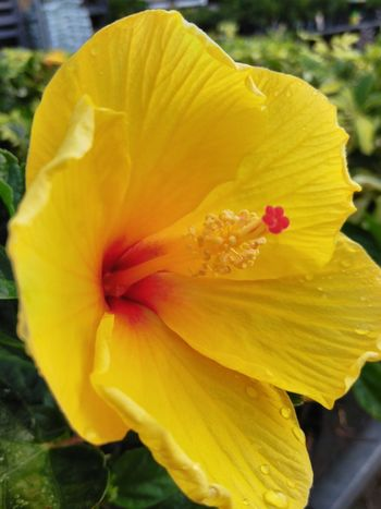 Hibiscus Yellow Flower Head Day Lily Flower Yellow Petal Stamen Vibrant Color Hibiscus Close-up Plant