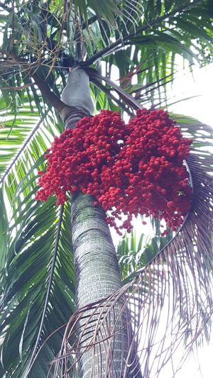 low angle view of a really striking tree with a bunch of red fruits Bunch Of Red Decorative Tree Freshness Fruit Low Angle View Palm Trees Red Fruit Plant, Red Fruits Tropical Fruits Tropical Plants