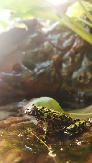kwaak Frog One Animal Animals In The Wild Underwater No People Animal Themes