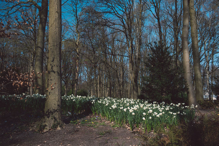 Narcissus Flowers Tree Plant Land Tranquility Nature Trunk Tree Trunk No People Beauty In Nature Forest Growth Bare Tree Tranquil Scene WoodLand Day Scenics - Nature Non-urban Scene Flower Outdoors Environment