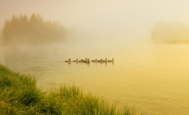 Misty morning at the yellowstone river Animal Themes Animal Wildlife Animals In The Wild Beauty In Nature Bird Ducks Flock Of Birds Fog Foggy Morning Grass Lake Nature No People Outdoors River Scenics Sunrise Sunset Tranquil Scene Tranquility USA Water Yellowstone National Park Yellowstone River Yellowstone Wildlife