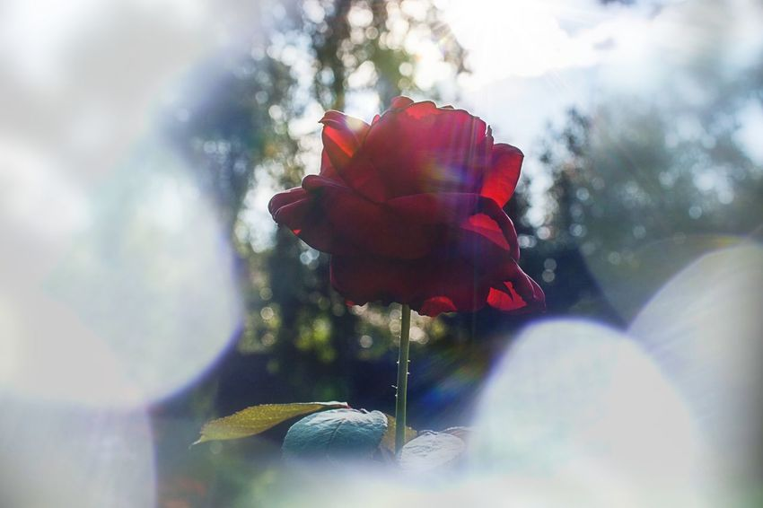 Rosé Rose - Flower Flowers Flower Roses Rose Petals Thorn Flower Lens Flare Red Selective Focus Nature Day Outdoors Beauty In Nature Fragility Soft Focus No People Growth Close-up Freshness Sky Flower Head