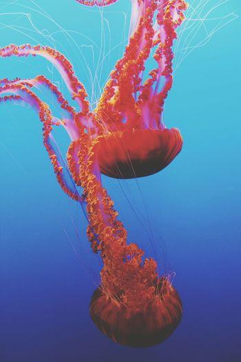 Jellies. Jellyfish Aquatic Aquatic Life Water Aquarium Ocean Color Red Blue Orange