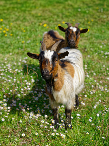 Two miniature goats Farm Goat Horns Animal Animal Themes Animals Domestic Domestic Animals Field Friendly Animals Grass Green Color Herbivorous Livestock Miniature Miniature Goat Nature Pets Young Animal