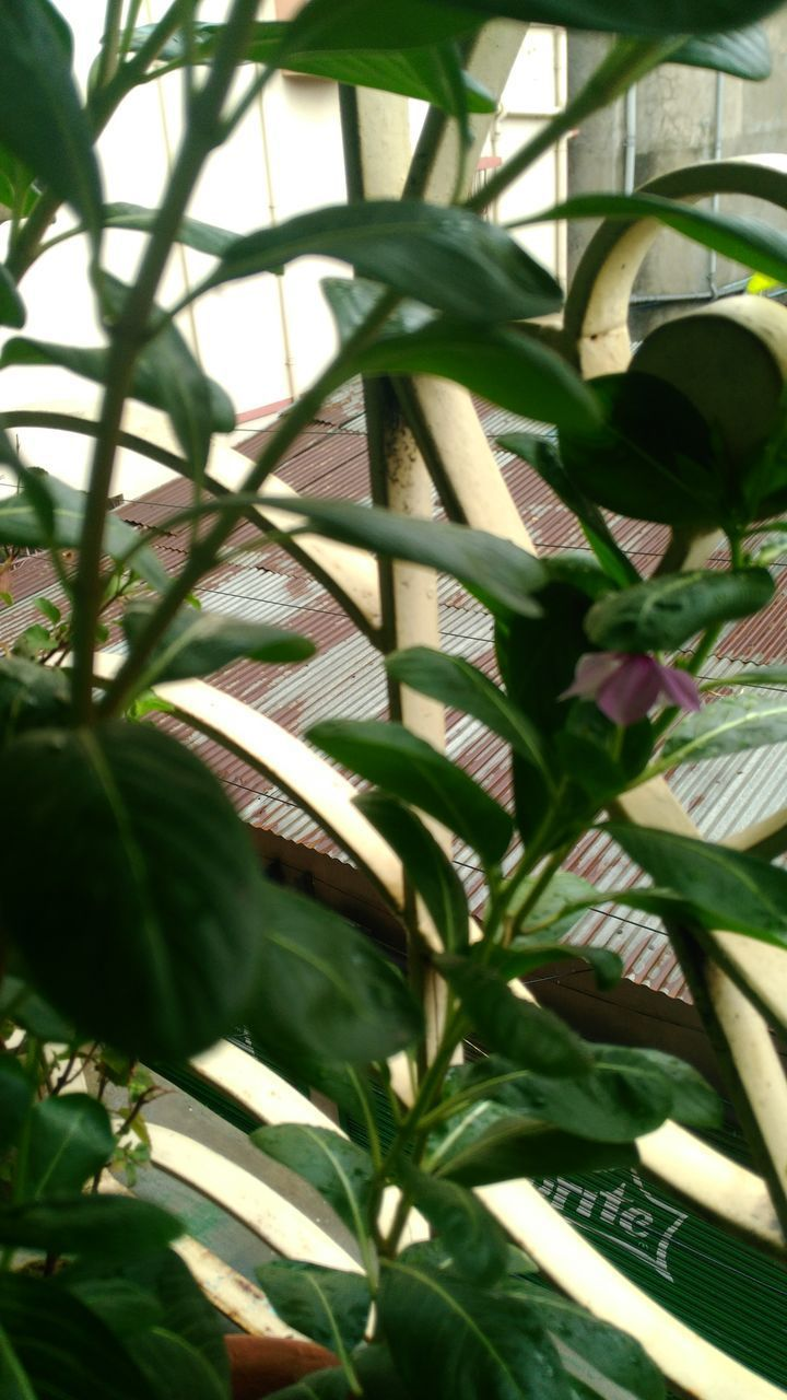 leaf, plant, growth, green color, day, nature, close-up, outdoors, no people, sunlight, beauty in nature, tree, freshness, greenhouse