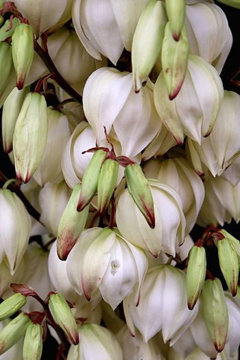 Yucca Flower Yucca Flowers Yucca Freshness Close-up No People Full Frame Backgrounds Food Plant Growth Flower Nature Beauty In Nature Flowering Plant