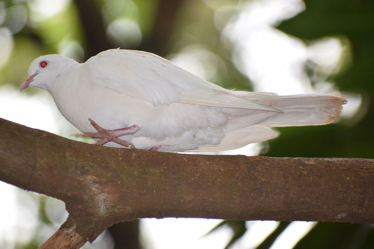 White dove.... NIKON D5300 Nikon Photography Nikon Day No People Photography Nikonphotography Nikond5300 Bird Perching Mourning Dove Tree Cockatoo Feather  Close-up Dove - Bird Pigeon