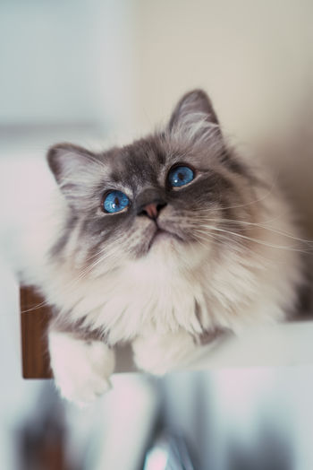 beobachter. Animal Themes Beautiful Birman Cat Blue Eyes Close-up Concentration Curiosity Day Domestic Animals Domestic Cat Feline Indoors  No People Observer One Animal Pets Ready To Jump Whisker