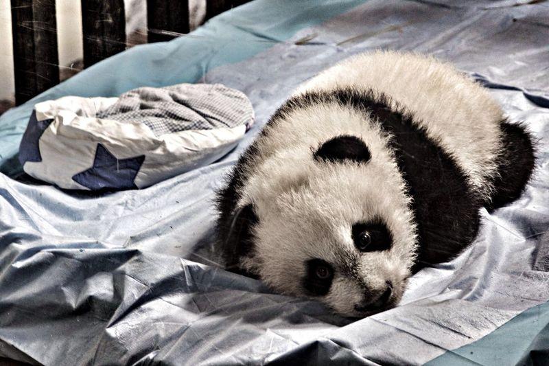 Giant panda cub in zoo
