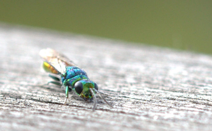 Mini Animal Wildlife Animal Wing Animals In The Wild Close-up Day Fly Green Color Housefly Insect Invertebrate Nature No People One Animal Outdoors Selective Focus Turquoise Colored Wood - Material Zoology