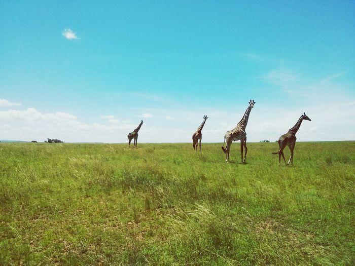 Giraffes of