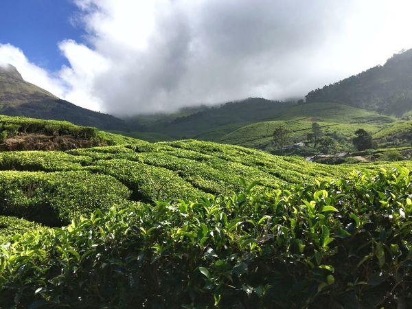 Tea Tea Plantation  Tea Plantations Tea Plant Tea Is Healthy Tea Plantation @ Kerala Kerala India Nature