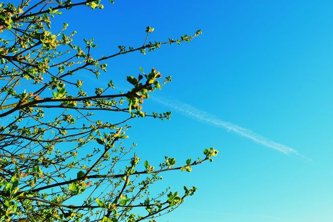 Blue Sky Nature Clear Sky Tree Day Outdoors No People Beauty In Nature Apple Trees Garden Garden Sunny Colours Of Nature Garden Photography Colours Of Life EyeEm Nature Lover Enjoying Life Colours Of Spring Evening Sun Springtime Green Color Freshness Beauty In Nature Fragility Sunlight