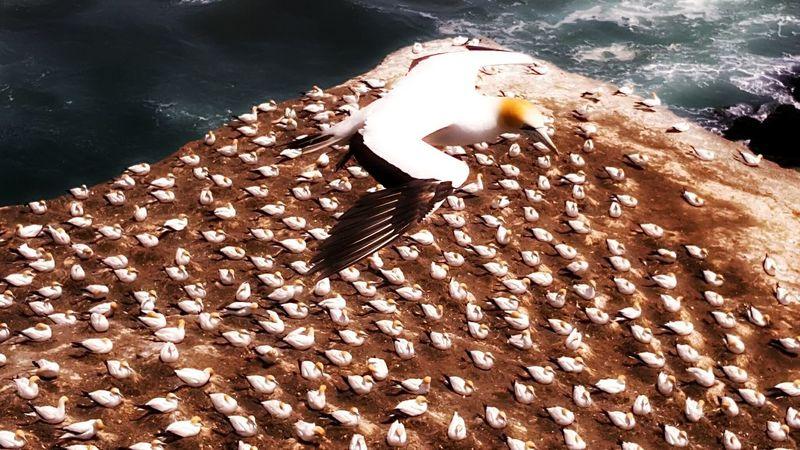 Gannets Animal Themes Large Group Of Animals Bird Close-up Outdoors Day Beach Time Beach Walk Muriwai Beach Flight Wings Sea Birds
