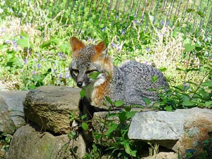 Grey fox Foxy Grey Fox Animal_collection Hiding Out