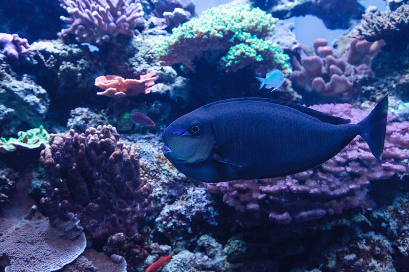 Bignose unicornfish known as Naso vlamingii in a coral reef Animal Themes Animals In The Wild Beauty In Nature Bignose Unicornfish Coral Reef Day Fish Naso Vlamingii Nature No People Sea Life Swim UnderSea Underwater Water