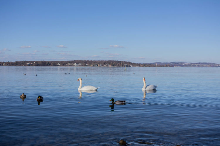 Swans swimming in lake against blue sky