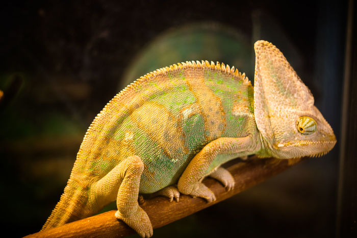 Animal Wildlife Branch Chameleon Close-up Day Nature No People One Animal Outdoors Reptile хамелеон