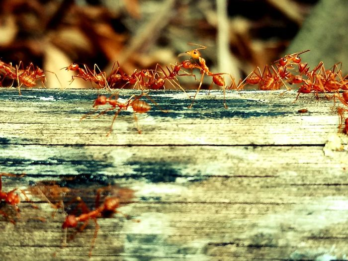Animal Animal Themes Animal Wildlife Animals In The Wild Ant Close-up Day Focus On Foreground Group Of Animals Insect Invertebrate Nature No People Outdoors Selective Focus Wood Wood - Material