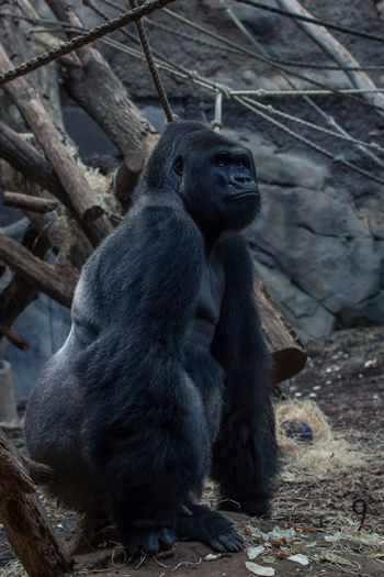 Silverback Animal Themes Animal Wildlife BigBoss Gorilla Monkey Monkeys Portrait Primate Silverback Silverback Gorilla Zoo Zoo Animals  ZooLife Zoology Zoophotography