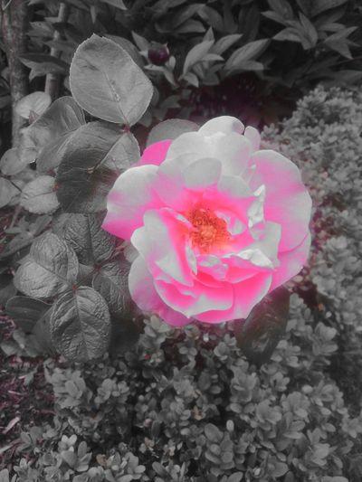 A Little Touch Of Color Eyeem Colorkey EyeEm Nature Lover Flower#garden#nature#ecuador#santodomingoecuador#eyeEmfollowers#iphoneonly#nofiltrer#macro_garden#pretty#beautiful#followme#sho