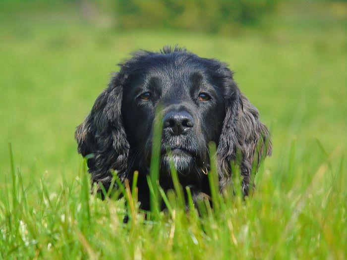 Close-up portrait of black dog on field