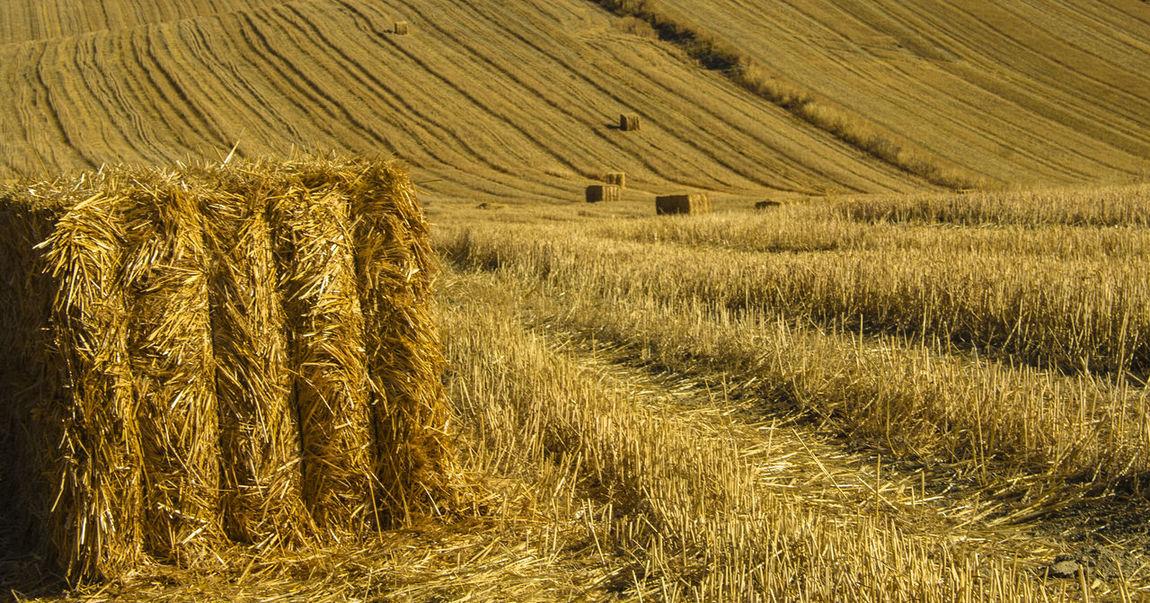 la campiña, los trigales en el sur de España Campiña Jaen Jaen Province Jaen Provincia Linares Openfield Openfields Trigal Trigales Wheat Wheat Field Wheatfield Wheatfields