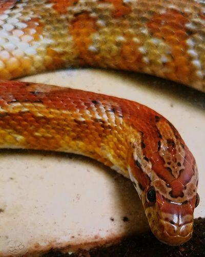 Jiles back at it! Cornsnake Snake Eyeem Snake EyeEm Pets EyeEm Best Shots EyeEm Gallery Eyeem Photography