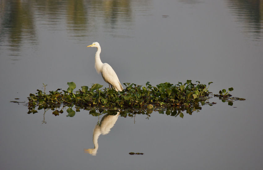 Animal Themes Animal Wildlife Animals In The Wild Bird Egret Great Egret Heron Lake Natural Beauty Nature Perching Plant Reflection Reflection Scenery Scenics Tranquil Scene Tranquility Water Water Bird Water Reflections Wild Wildlife Wildlife & Nature Vella Kokku