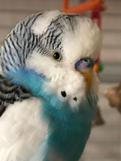 Bird Close-up One Animal Animal Themes Budgerigar Budgie Pets Poser Animal Parakeets Birds Model Animals Budgies Budgerigar Eye Parakeet Pet White Blue Sweetface Sweeteyes Topaz Topaztheparakeet