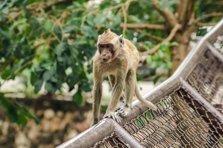 Crab-eating macaque is climbing the fence. the macaque has brown hair on its body.
