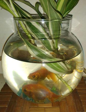 Pets Fish Goldfish Fish Bowl