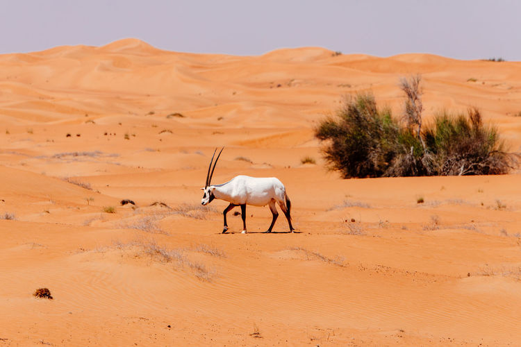 View of a desert and a walking oryx