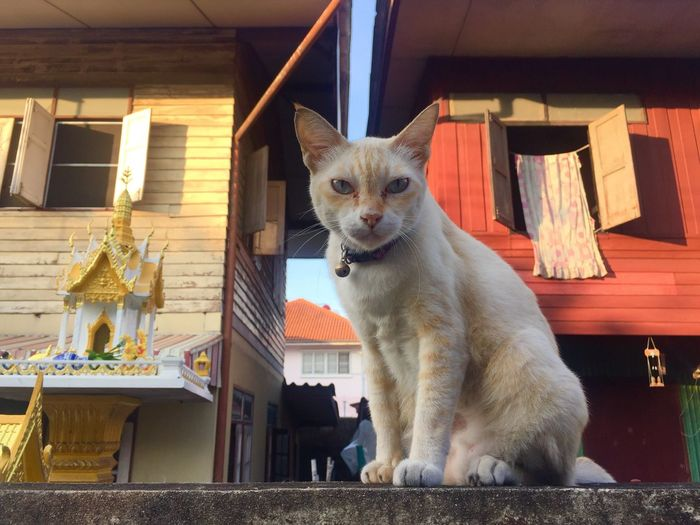 White cat sit on wall White Cat Thai Street Cat On Wall Sitting Outside Mammal One Animal Pets Domestic Domestic Animals Dog Canine No People Indoors  Home Interior Sitting Portrait Architecture Looking At Camera Small Vertebrate House Day